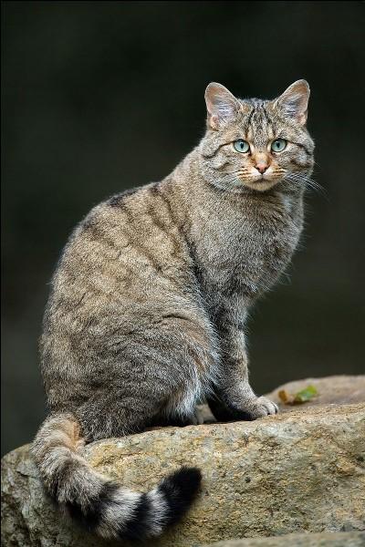 Cet animal à robe légèrement rayée, avec une queue épaisse, annelée (2 à 5 anneaux) et terminée par un manchon noir n'appartient pas à la famille des Félidés. Vidéo !