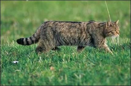 L'autre nom du chat sauvage est le chat haret.