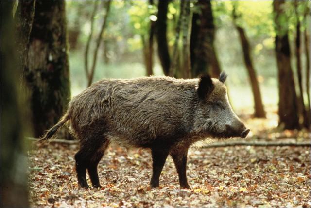Le sanglier est un mammifère forestier de la famille des Suidés.