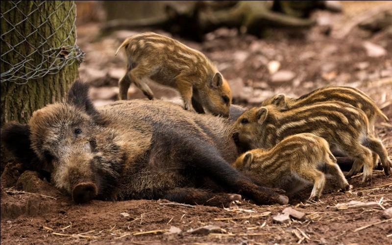 Sur cette photo, la hase allaite ses petits, les marcassins.