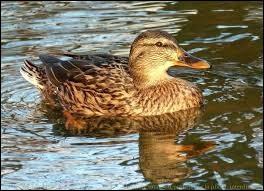 Quel nom donne-t-on à la jeune femelle canard ?