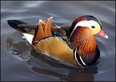 Quel est le nom de cette race de canard présenté sur la photo ?