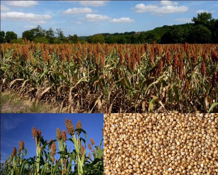 Botanique : Cette graminée originaire d'Afrique est la cinquième céréale cultivée dans le monde. Sans gluten, elle est riche en amidon et en protéines...
