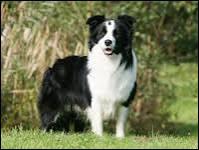 De quelle race ce chien est-il ?