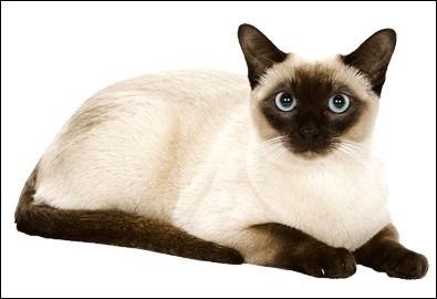 De quelle race ce chat est-il ?