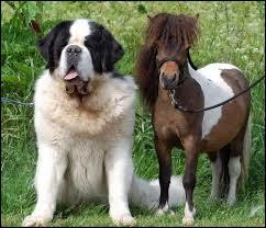 Quelle est la race du plus petit poney au monde ?