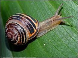 L'escargot peut pousser un objet de __ fois sa taille.