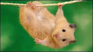 Où avoir un hamster est-il illégal ?