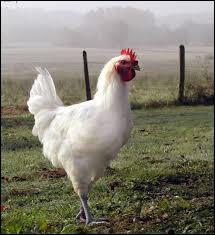"Si je te dis ""poulet"", tu me dis :"