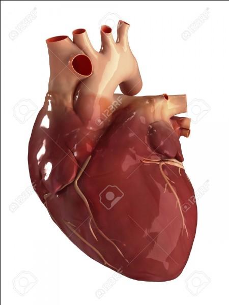 Le coeur est un muscle :