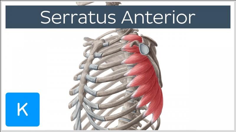 Ce muscle est innervé par le nerf thoracique long, il a une fonction stabilisatrice à l'exercice du développé couché, il plaque l'omoplate sur le thorax. Comment se nomme t'il ?