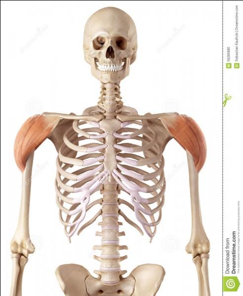 Combien y a-t-il de faisceaux dans le muscle deltoïde ?