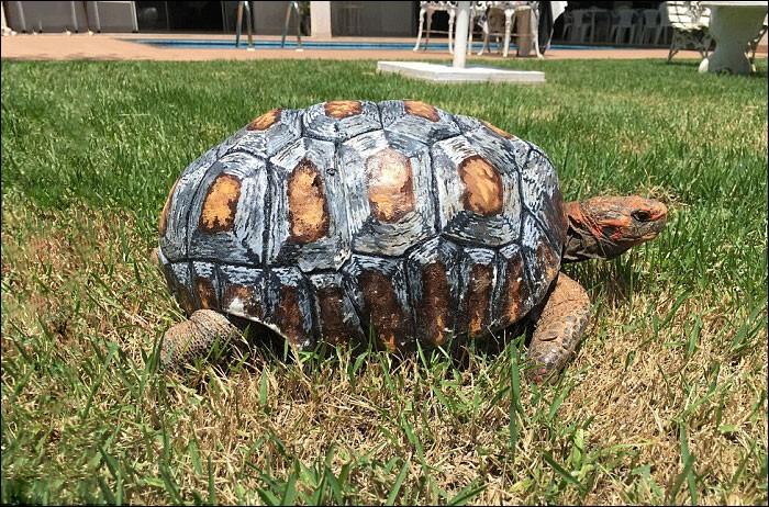 Quelle est la particularité de la tortue brésilienne nommée Freddy ?