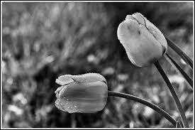 De quelle couleur la tulipe est-elle dans le roman d'Alexandre Dumas ?
