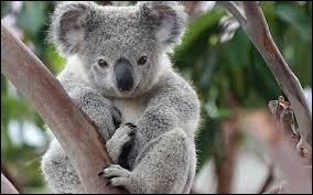 Le koala est un bien __ animal.