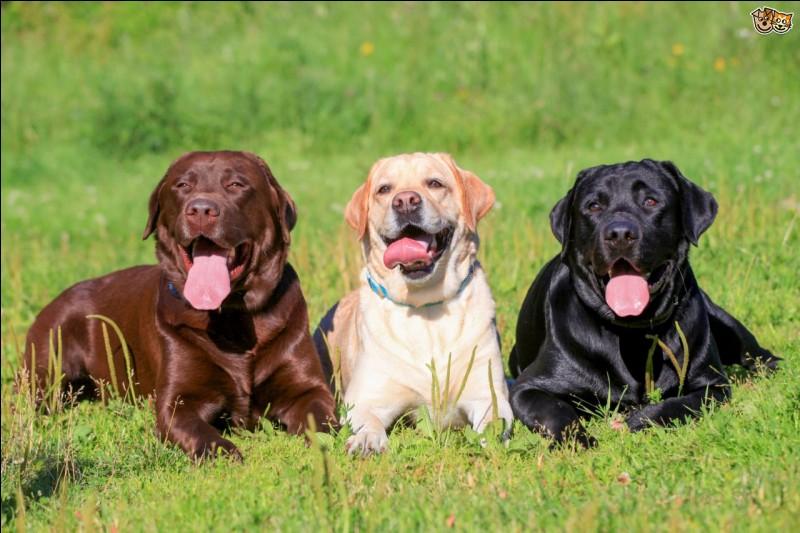 Ces chiens sont des :