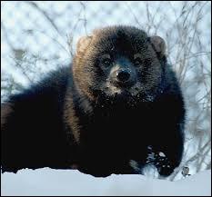 Animaux - Comment s'appelle ce petit mammifère carnivore d'Amérique du Nord ?
