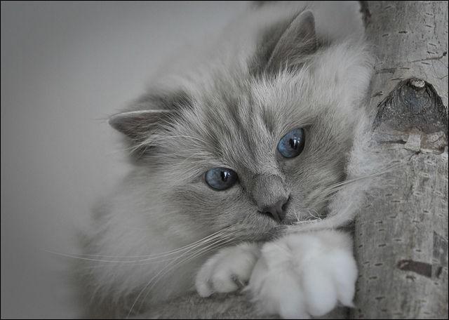 Qu'est-ce qu'un chat polydactyle ?