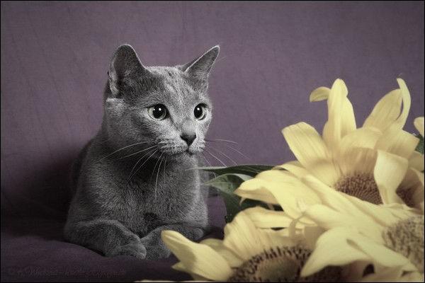 A quelle race ressemble le plus ce chat ?