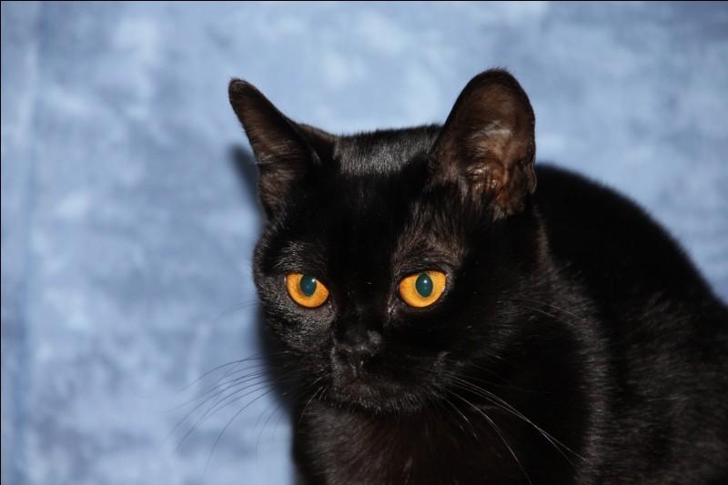 Cette mini panthère noire porte le nom de la ville la plus peuplée de l'Inde. C'est donc le chat...