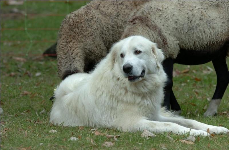"""Le chien """"montagne des Pyrénées"""" protège les troupeaux. Quel autre nom lui donne-t-on ?"""