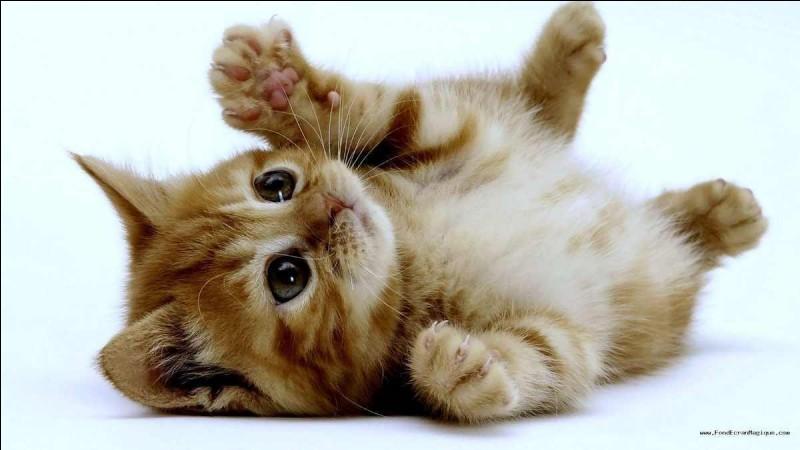 """Ce chaton est décontracté. Parmi ces trois mots, lequel est un synonyme de """"décontracté"""" ?"""