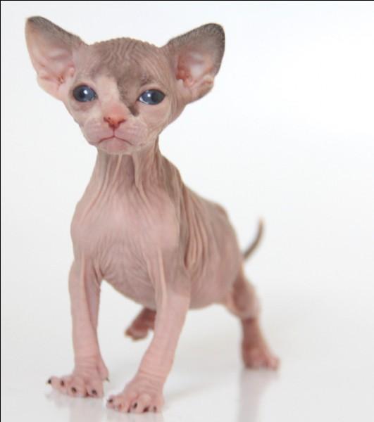 Quel est le nom de ce chat nu à la peau plissée ?