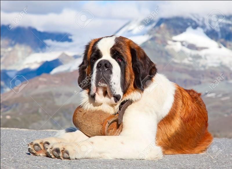 Voici un saint-bernard. Où utilise-t-on ce chien pour trouver et sauver des personnes ensevelies sous la neige ?